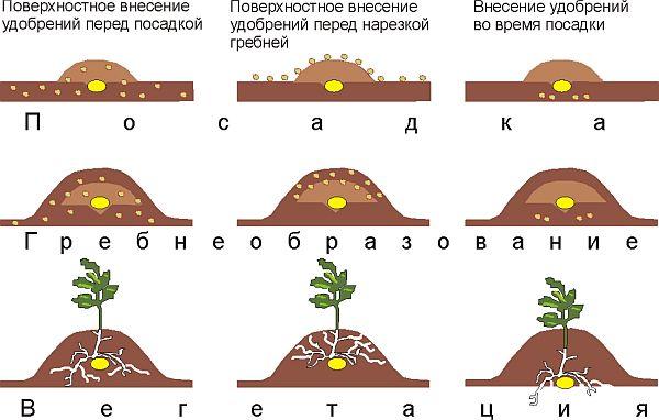 При высоте стеблей 12-15 см